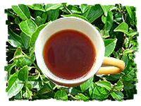 camellia-sinensis