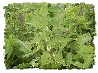 gypsywort for astringents and sedatives