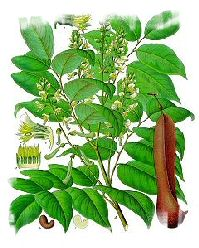 balsam used in medicine, pharmaceutical, in the food industry and in perfumery