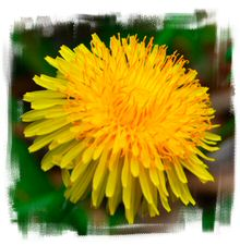 Dandelions, flowers, roots and leaves, have been used for centuries in traditional medicine & medicinal teas, most notably for liver detoxification, as a natural diuretic and for inflammation reduction